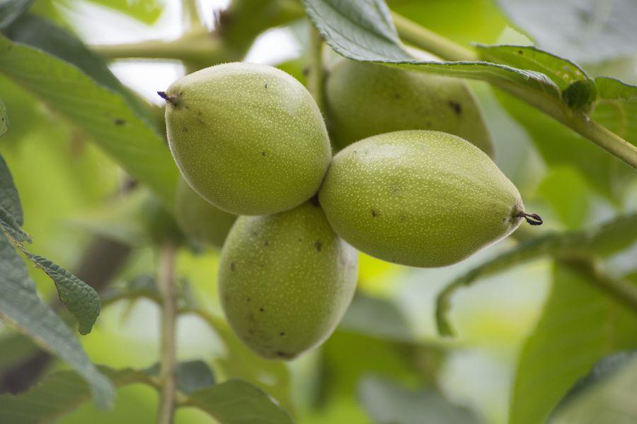 маньчжурский орех