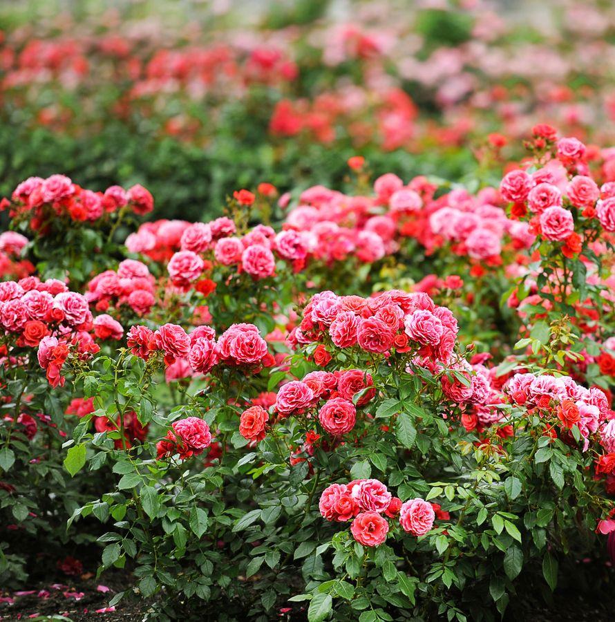 роза семена