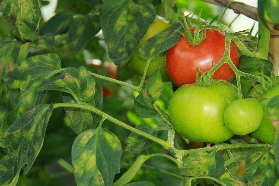 болезни томатов описание