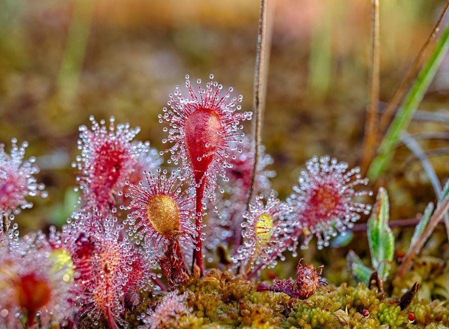 росянка растение