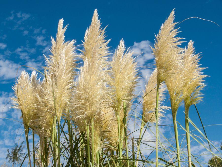 пампасная трава уход