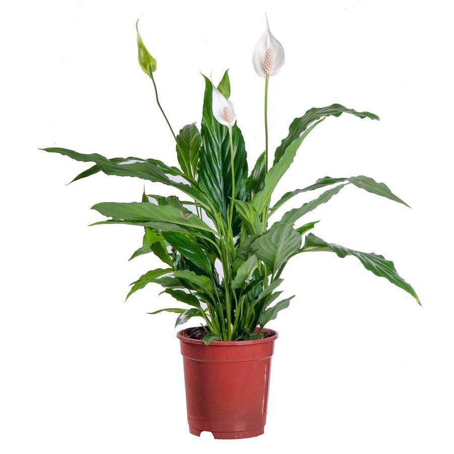 женский цветок