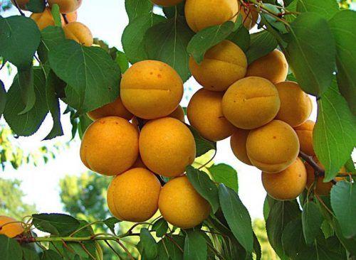 абрикос погремок
