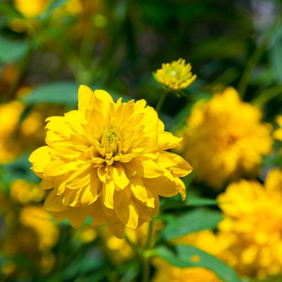 золотые шары цветы фото