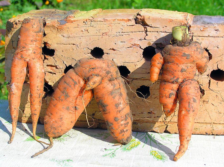 почему морковь рогатая