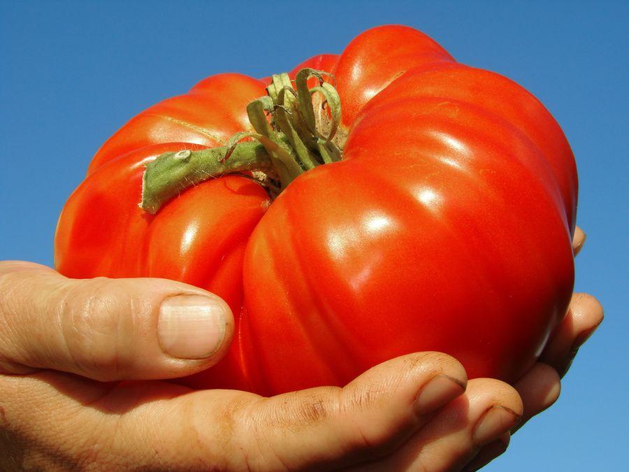 томаты гиганты сорта