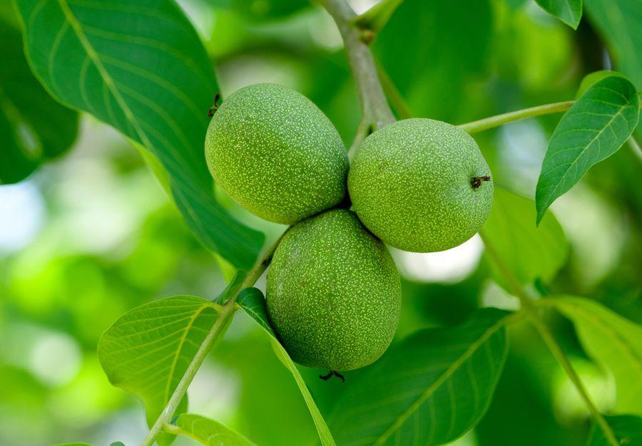 Зелёный грецкий орех применение