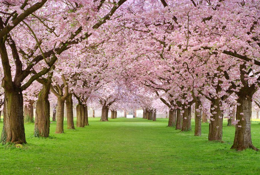сакура — это что за дерево