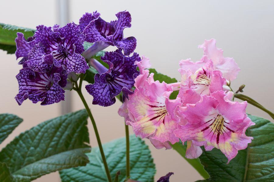 стрептокарпус выращивание