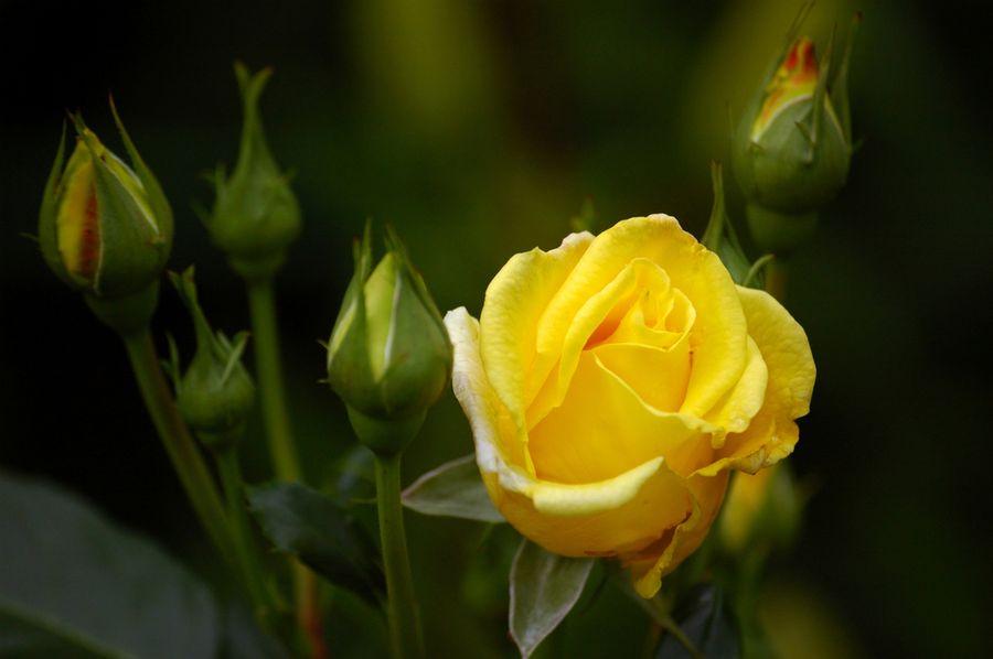 роза артур белл