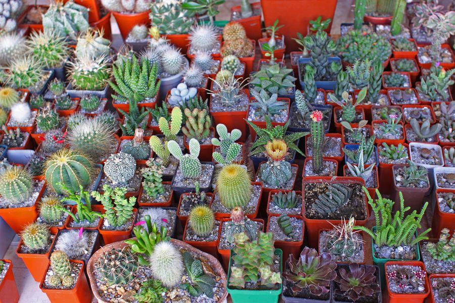 полив кактусов