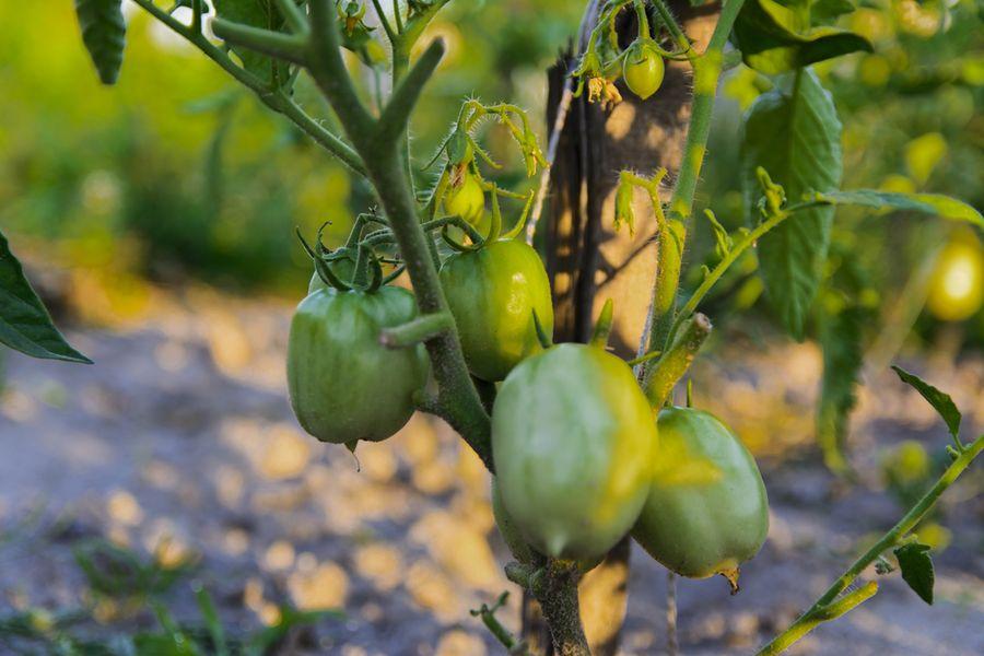 гниют помидоры