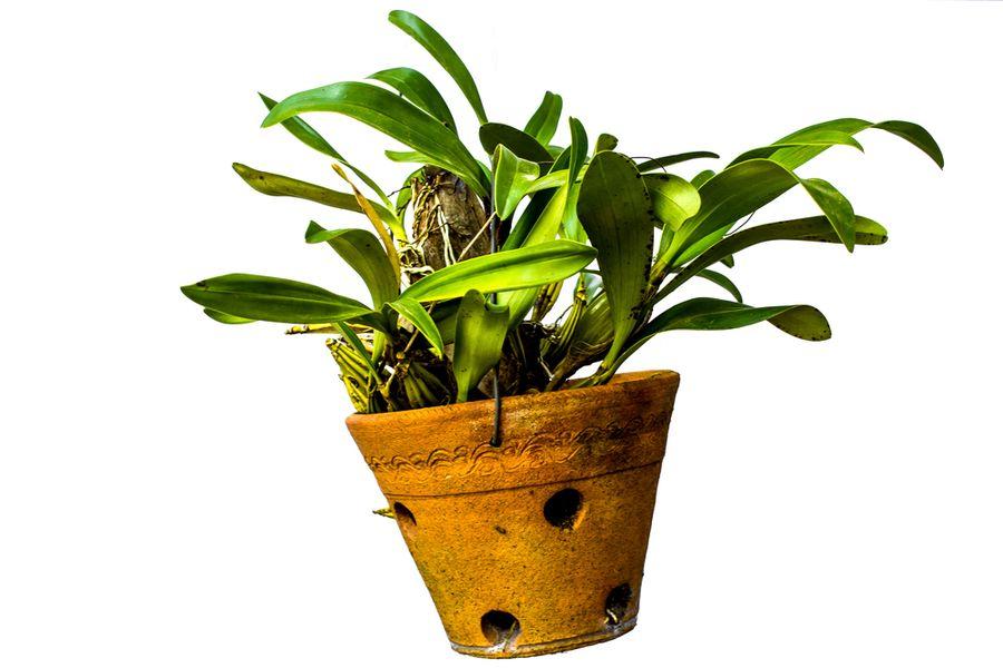 почему листья растут а орхидея не цветет