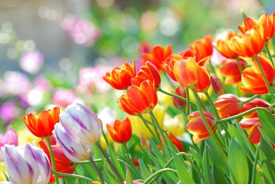 тюльпаны описание