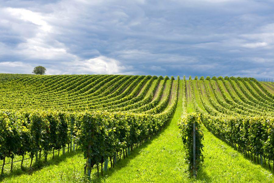 технические сорта винограда